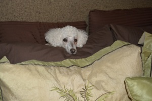 Zephyr hiding in his fort - Poodles and pillows