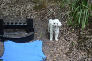 Zephyr the Camping Dog